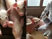 भय इथले संपत नाही! कोरोनाच्या महामारीनंतर चीनमध्ये पसरला स्वाईन फिव्हर,१०० डुकरं संक्रमित - Marathi News | China faces new swine fever 1000 pigs infected at science | Latest health Photos at Lokmat.com
