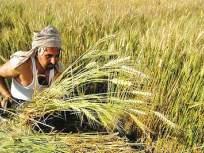 ढगाळ वातावरणाने शेतकरी धास्तावले; कडधान्य पिकावर परिणाम होण्याची शक्यता