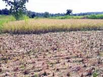 शेतकरी २९ कोटींच्या भरपाईच्या प्रतीक्षेत, राष्ट्रपती राजवटीमुळे संताप