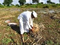 अकोला जिल्ह्यातील तीन लाख अतिवृष्टीग्रस्त शेतकऱ्यांना वाढीव मदतीची प्रतीक्षा