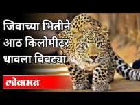 जिवाच्या भितीने आठ किलोमीटर धावला बिबट्या | Leopard on Road | Nagpur News - Marathi News | Fearing for his life, the leopard ran eight kilometers Leopard on Road | Nagpur News | Latest maharashtra Videos at Lokmat.com