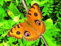 मुग्धपंखी, कुचलपाद नावांनी ओळखली जाणार फुलपाखरे