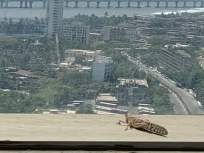 VIDEO: मुंबईत टोळधाड; ताडदेव, वरळी, विक्रोळीत दिसले टोळ - Marathi News | locust hits mumbai after damaging crops in vidarbha and several states kkg | Latest mumbai News at Lokmat.com