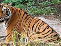 मेळघाट व्याघ्र प्रकल्पात वर्षभरात तीन वाघ, तीन बिबट्यांचा मृत्यू