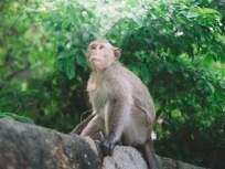 CoronaVirus News : कोरोनावर भारतात लवकरच लस विकसित होणार?; 30 माकडांवर प्रयोग करणार - Marathi News | Corona vaccine to be developed in India soon?; Will experiment on 30 monkeys | Latest maharashtra News at Lokmat.com