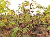 दावण्या, करपा रोगाने द्राक्ष उत्पादक संकटात