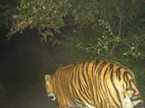 मिहानमध्ये वाघाच्या शोधात वनविभाग: कॅमेरा ट्रॅपची संख्या ३० वर