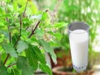 सर्दी, खोकल्यावर रामबाण उपाय १ ग्लास तुळशीचं दूध; इतर फायदे वाचून अवाक् व्हाल - Marathi News | Health Tips In Marathi : Tulsi milk health benefits immunity booster | Latest health News at Lokmat.com