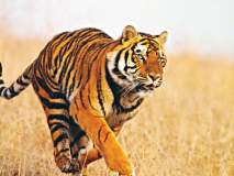 वाघ वाढले; आता टिकवण्याचे आव्हान