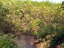 परभणी : कापूस उत्पादक शेतकऱ्यांचे आर्थिक गणित कोलमडले