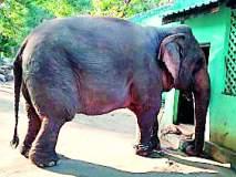 मेळघाटात कामकरी हत्तीला गूळपोळीचा नाष्टा
