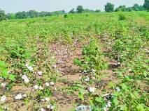 जिल्ह्यातील कापूस उत्पादक शेतकऱ्यांपुढे दुहेरी संकट