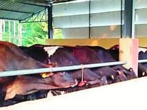 फ्रिजवल गायीमुळे वाढते दुधाची क्षमता