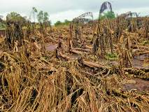 सांगली जिल्ह्यात ६६ हजार हेक्टरवरील पिकांचे नुकसान