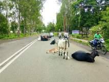 रस्त्यांवर जनावरे मोकाट ;नागरिकांसह वाहनचालकांना त्रास