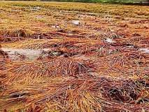 २० हजार शेतकऱ्यांना परतीच्या पावसाचा फटका