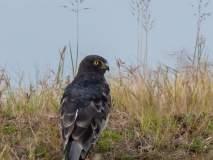 रशिया, कोरिया, फिलिपाईन्स, चीन देशातील शिकारी पक्षी सोलापुरात