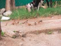 पिकांवरील औषध फवारणीमुळे पक्ष्यांची घटतेय संख्या