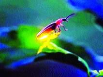 जैवविविधतेसाठी निसर्गातील काजवा वाचविण्याची गरज !