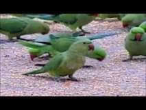 ४३ पोपट बाळगणाऱ्या विक्रेत्याला सशर्त जामीन