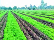 मेथीने बनविले शेतकऱ्याला लखपती