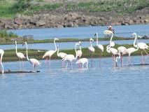 राजस्थानातून आलेला 'फ्लेमिंगो' डोमरी तलावावर विसावला
