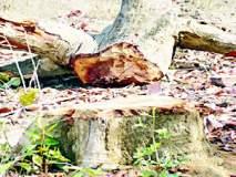 मौल्यवान वृक्षांची खुलेआम कत्तल