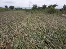 अवकाळीमुळे दीड लाख शेतकऱ्यांना अवकळा