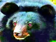 आर्णीत विजेचा शॉक देऊन अस्वलाची शिकार