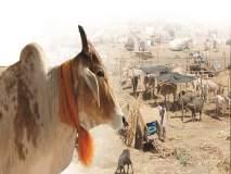 साठ हजार जनावरांचा पोळा यंदा छावणीतच : चार तालुक्यात ९४ छावण्या