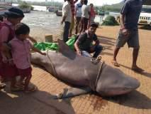 अबब... वेंगुर्ल्याच्या समुद्रात सापडला ३०० किलो वजनाचा मोरी मासा