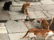 VIDEO : चार मांजरांनी सापावर केला हल्ला, अन् जे घडलं ते पाहून बसेल धक्का...