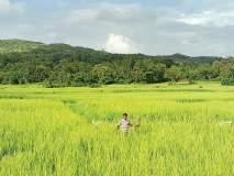 लहरी हवामानामुळे भातशेतीला धोका
