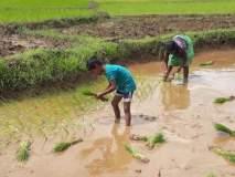 सिंधुदुर्ग : परतीच्या पावसाने भातशेतीचे नुकसान, शेतकरी पुरते संकटात