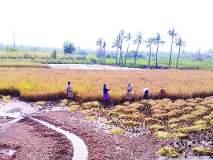 पावसाने भातपिकासह आंबाही संकटात