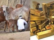 सोन्याचा अंश असल्यानेच गायीचे दूध पिवळसर, भाजप नेत्याचे तर्कट