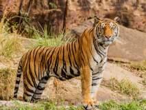 दृष्टिकोन - देशात वाघ वाढले; अधिवासाचे क्षेत्र कसे वाढविणार?