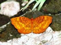 एरंडक : एक वैशिष्ट्यपूर्ण फुलपाखरू