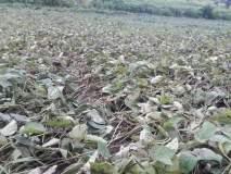 पहिल्याच वेचणीत होतेय कपाशीची पऱ्हाटी; कापूस उत्पादक शेतकऱ्यांमध्ये चिंता