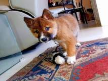 सामान्य कुत्रा म्हणून ज्याला घरी आणलं, त्याची डीएनए टेस्ट केल्यावर समोर आलं वेगळंच...