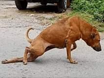 VIDEO : ...म्हणून चक्क पाय मोडल्याची अॅक्टिंग करतो हा चतुर कुत्रा!