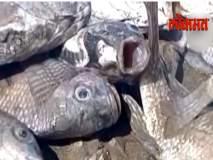 पाण्याची पातळी घटल्याने गोदावरी नदीतील हजारो मासे मृत्युमुखी