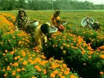 झेंडूची फुले ६० रुपये किलो -: दसऱ्यामुळे दरात तेजी