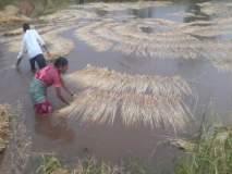 कल्याण तालुक्यातील दोन हजार हेक्टर भात शेतीचे नुकसान