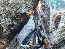 भाईंदरमध्ये झाडे जाळल्याने खळबळ, यंत्रणांचे दुर्लक्ष
