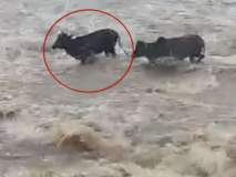पालघर-डहाणू रोडवरील सूर्या नदीचा पूल पाण्याखाली, तीन गायी गेल्या वाहून
