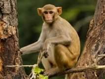 धरणगाव तालुक्यातील नांदेड येथे वनविभागाला माकडांची हुलकावणी