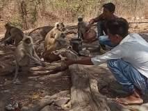 काटेपूर्णा अभयारण्यातील माकडांना लागला वन्यजीवप्रेमींंचा लळा