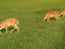 वन्यप्राण्यांचा उच्छाद वनविभागाच्या नियंत्रणाबाहेर