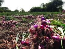 याद्यांच्या घोळामुळे सोलापुरातील कांदा अनुदान जमा होण्यास दिवाळीचा मुहूर्त